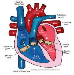 picture blood flow heart picture 6