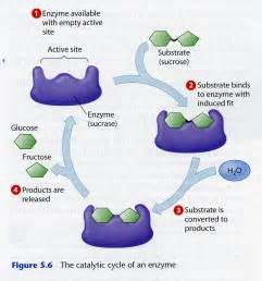 enzymes for digestion picture 5