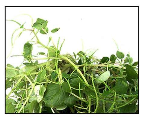 herbal medicine bato sa apdo picture 15