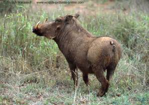 wart hog pictures picture 7