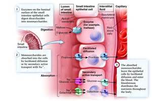 digestion in small intestine picture 7
