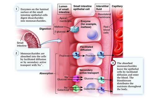 digestion in small intestine picture 14