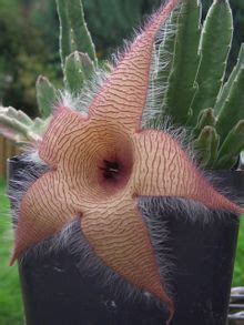 hoodia v picture 6