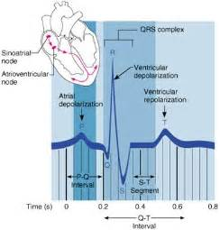 do electrocardiograms directly measure action potentials in individual picture 3