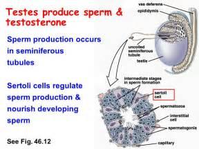 testosterone is produced in these cells picture 7