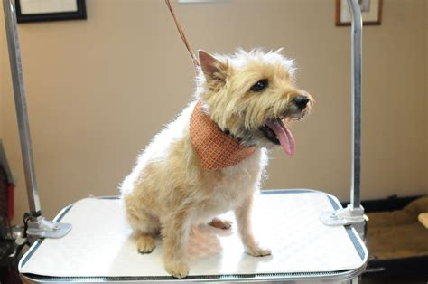 carin terrier hair cuts picture 2