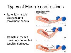 and isotonic muscle contraction picture 3