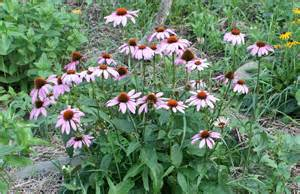 prairie frost echinacea picture 3