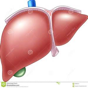 what does the liver do picture 9