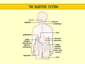 top digestive system picture 6