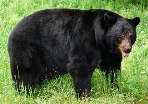 Black bear herbal picture 2