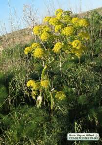 giant fennel picture 17