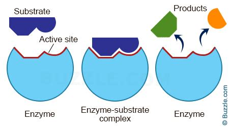 enzymes picture 2