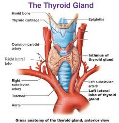 thyroid and colon connection picture 2