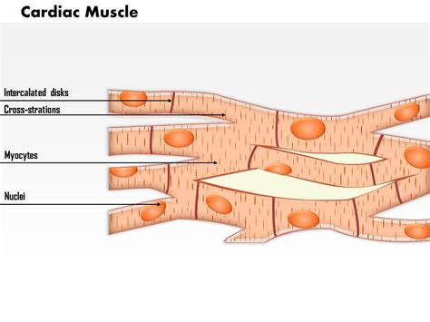 cardiac muscle picture 12