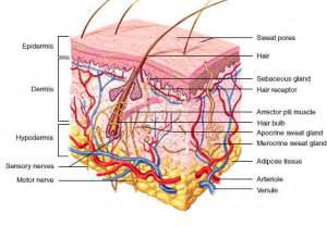 integumentary system skin model picture 19
