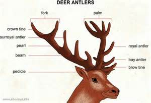 can deer antler increase penis size picture 10