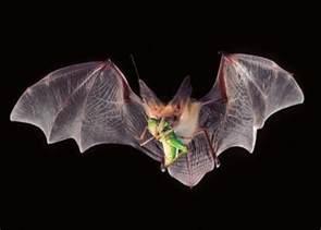 bat diet mosquito picture 1
