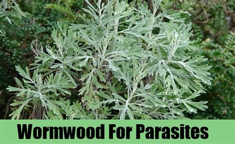 wormwood for pain relief picture 2