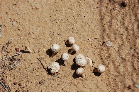 desert fungi picture 10