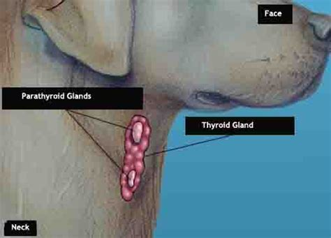 dog thyroid glands picture 6