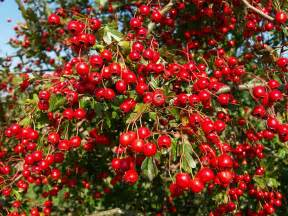hawthorn berry extract picture 2
