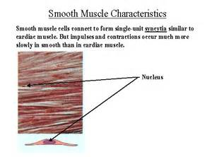 functions of smooth muscle picture 2