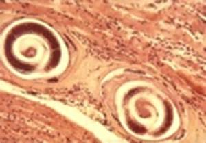Guinea pigs intestinal worms picture 6