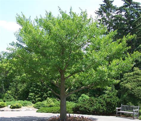 ginkgo biloba tree picture 3