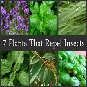 herbal remedies for ticks picture 3