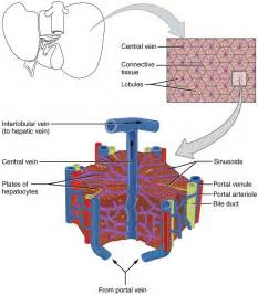 anatomy of liver picture 17