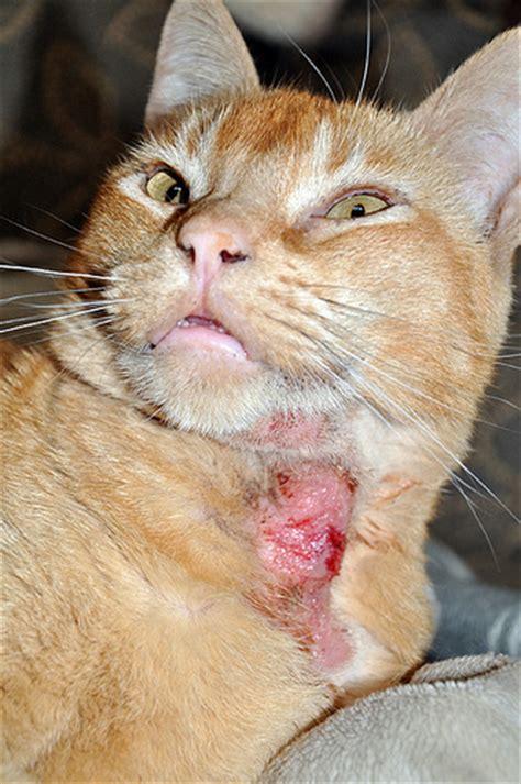 feline skin lesions picture 22