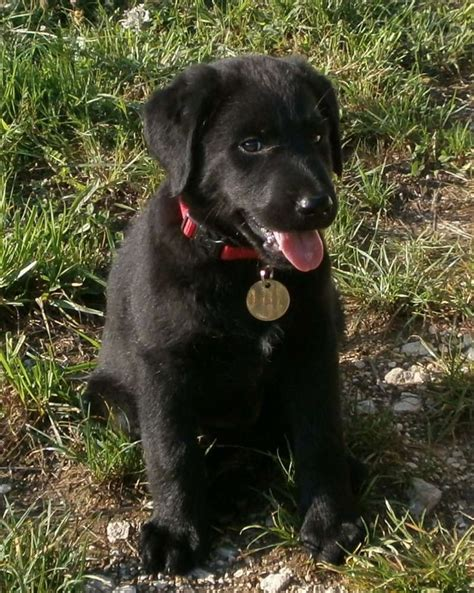 how to tell age of labrador h picture 5