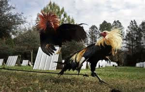 cockfighting vitamins picture 3