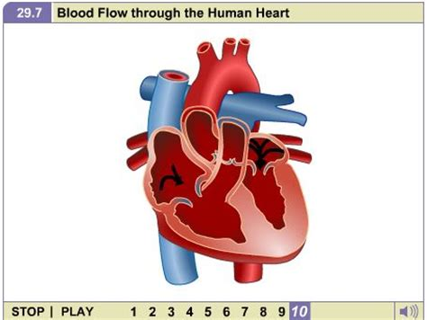 Blood flow animation picture 5