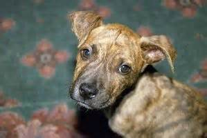 dogs parvovirus intestinal viruses picture 17