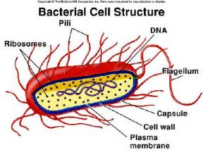shape of bacterial dna picture 15