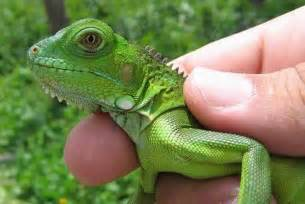 green iguana black in diseases picture 6