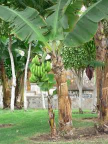 plantain tree care picture 6