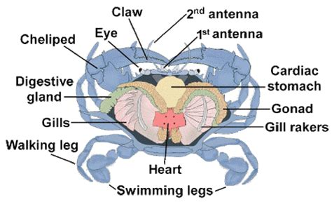 crab digestion picture 2