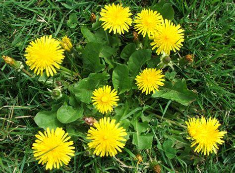 dandelion weeder picture 9
