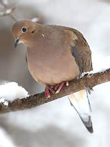 mourning dove diet picture 1