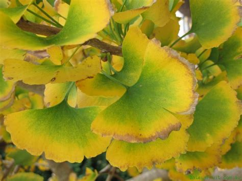 information on the ginkgo tree picture 3