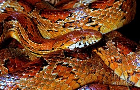 corn snakes h picture 1