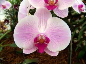 orchid virility picture 5