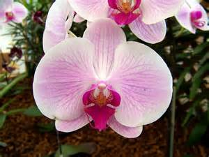 orchid virility picture 3