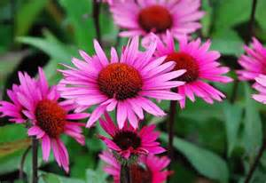 echinacea fatal attraction picture 7