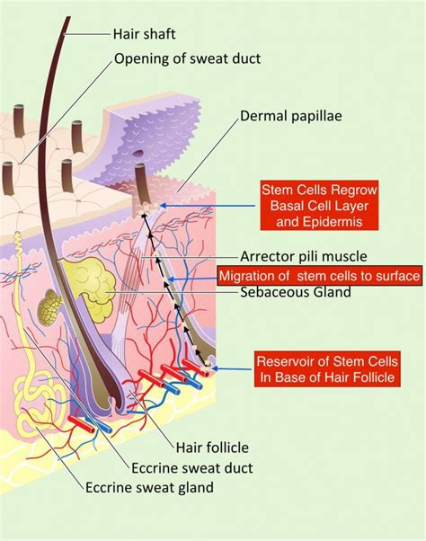 stem cells regrow h picture 5