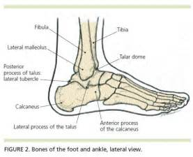 ankle joint diagram picture 7