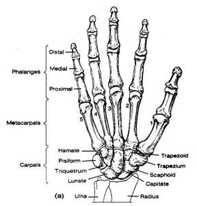 distal radial ulnar joint picture 6